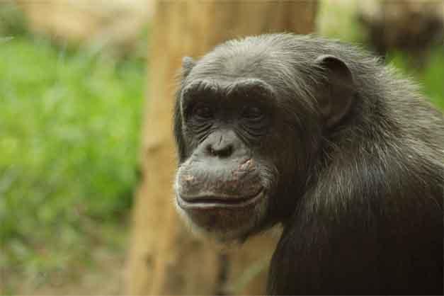 Un chimpancé en el zoológico del Loro Parque